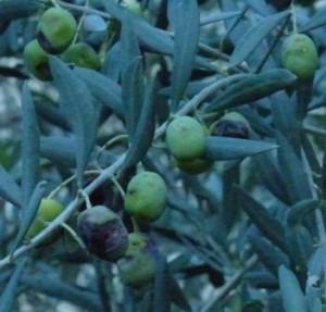 Schäden durch die Olivenfliege