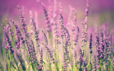 Unser Duft zum Weltdufttag Lavendel